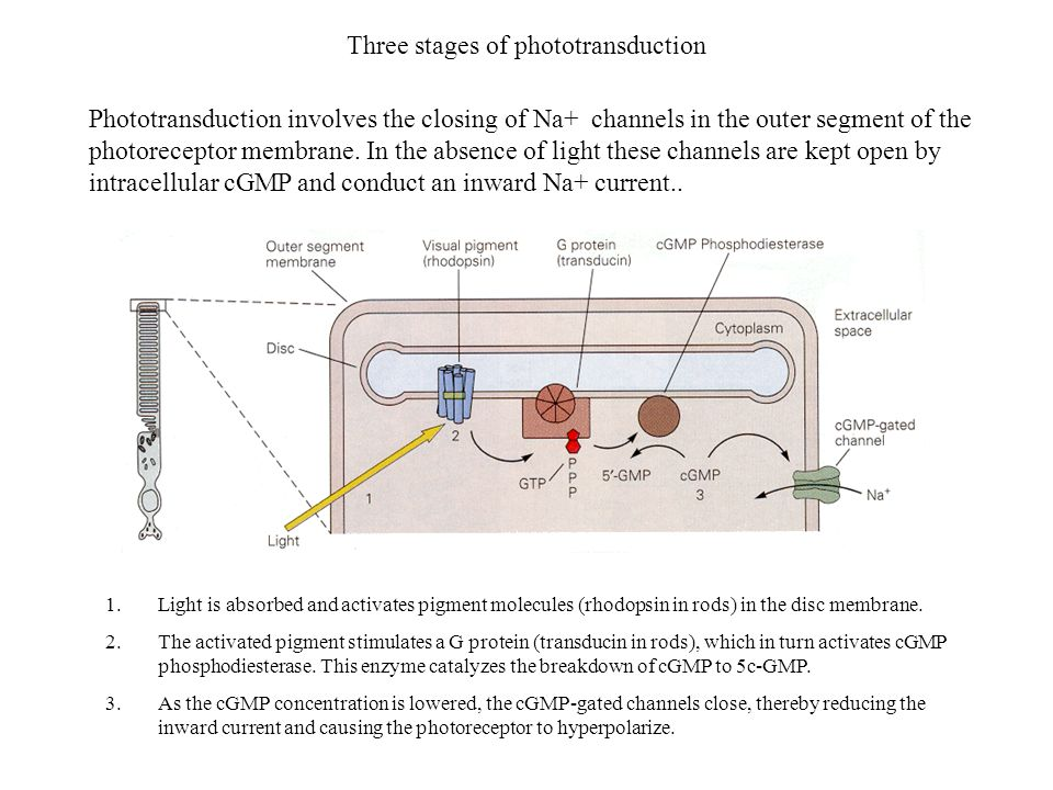 Three stages of phototransduction