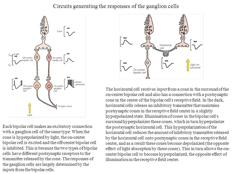 Circuits generating the responses of the ganglion cells