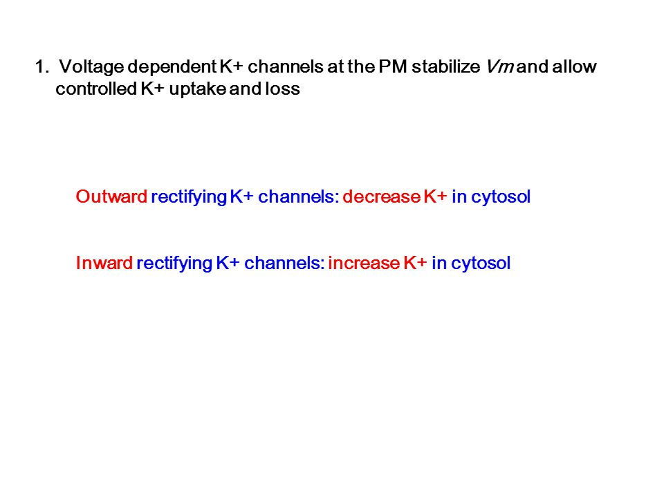 Voltage dependent K+ channels at the PM stabilize Vm and allow