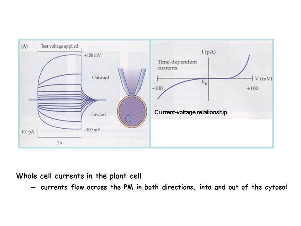 Whole cell currents in the plant cell