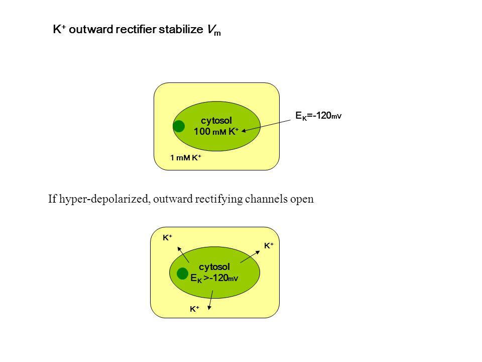 K+ outward rectifier stabilize Vm