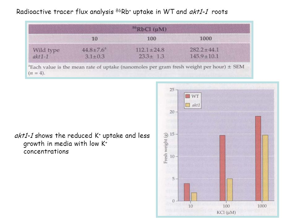 Radioactive tracer flux analysis 86Rb+ uptake in WT and akt1-1 roots