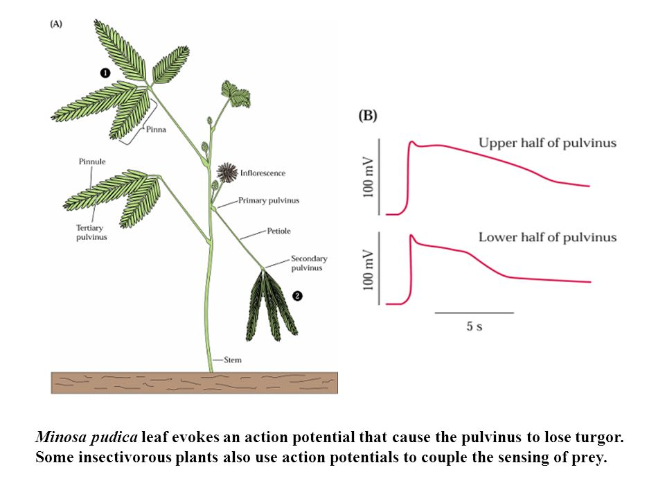 Minosa pudica leaf evokes an action potential that cause the pulvinus to lose turgor.