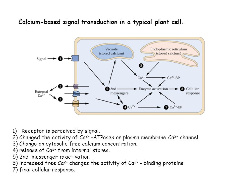 Calcium-based signal transduction in a typical plant cell.