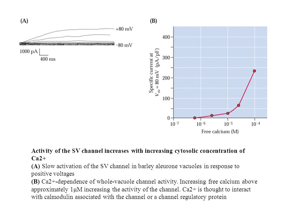 Activity of the SV channel increases with increasing cytosolic concentration of Ca2+