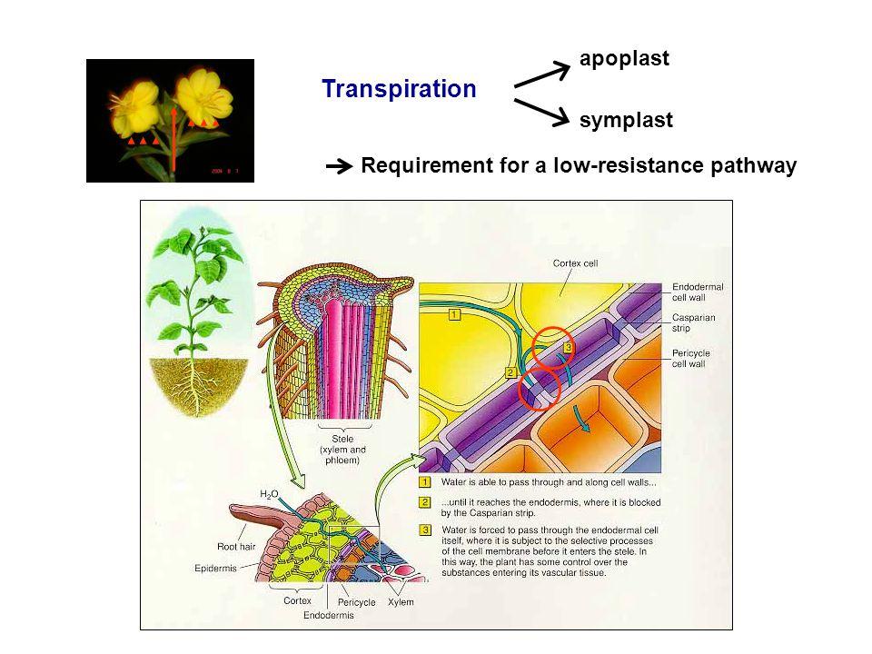 Transpiration apoplast symplast