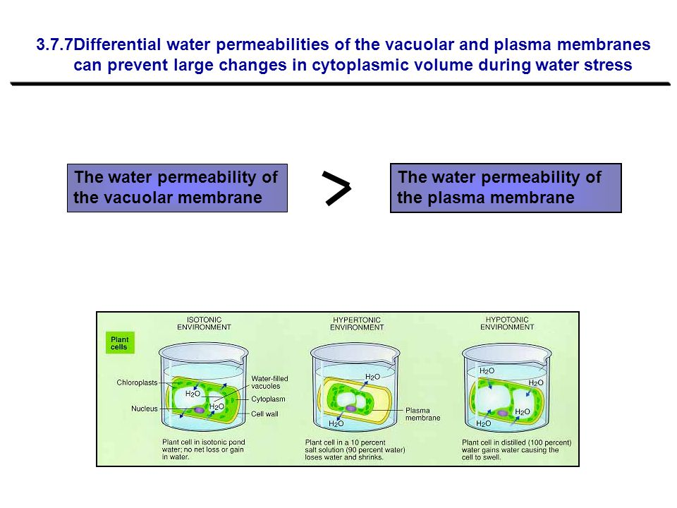 3.7.7Differential water permeabilities of the vacuolar and plasma membranes