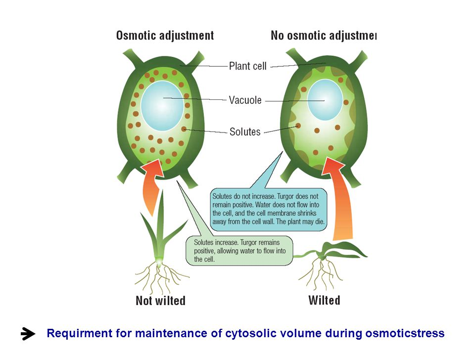 Requirment for maintenance of cytosolic volume during osmoticstress