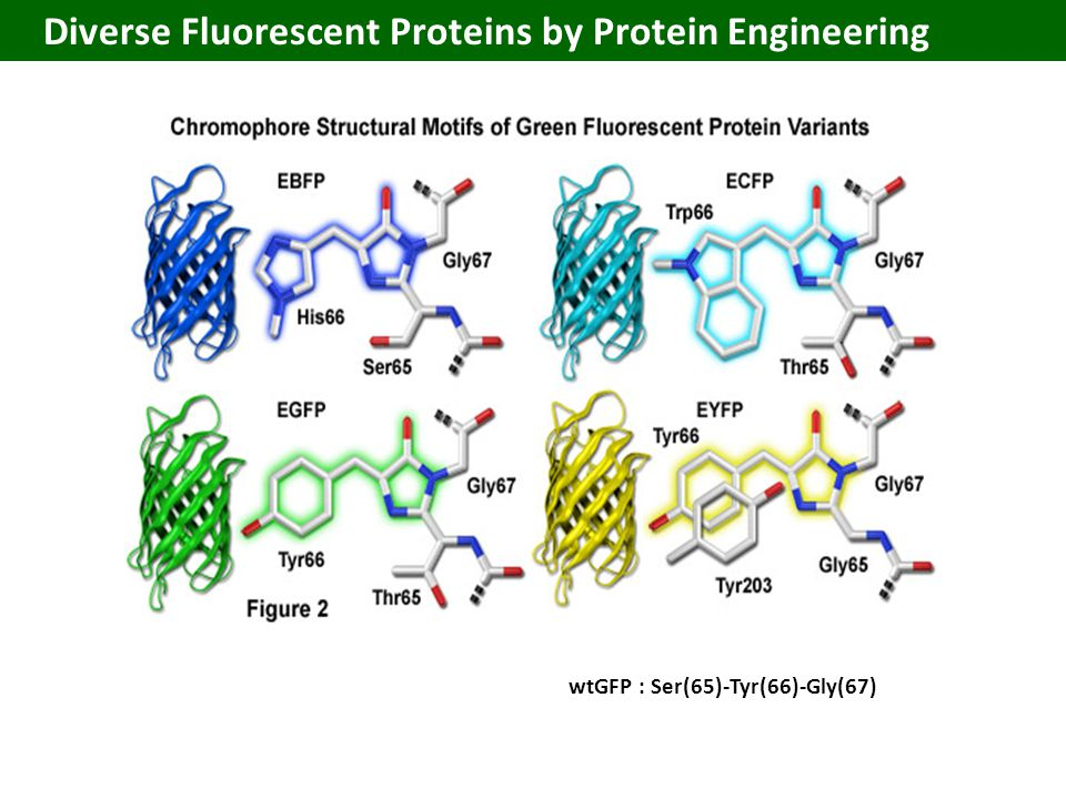 Diverse Fluorescent Proteins by Protein Engineering