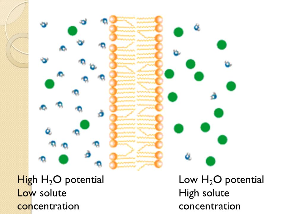High H2O potential Low solute concentration Low H2O potential High solute concentration