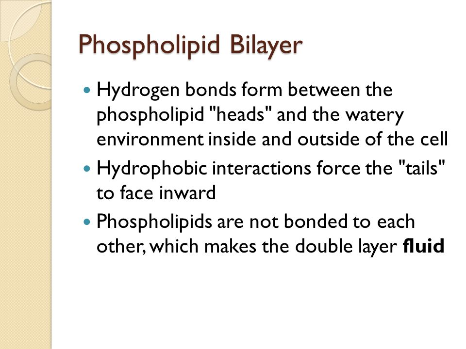Phospholipid Bilayer Hydrogen bonds form between the phospholipid heads and the watery environment inside and outside of the cell.