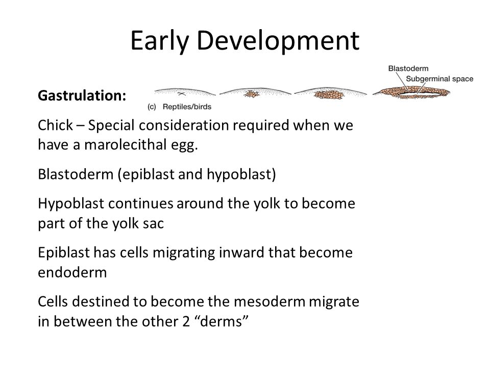 Early Development Gastrulation: