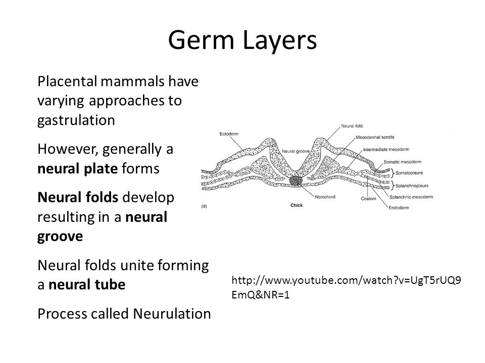 Germ Layers Placental mammals have varying approaches to gastrulation