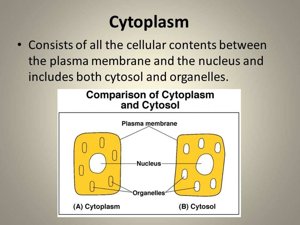 Cytoplasm Consists of all the cellular contents between the plasma membrane and the nucleus and includes both cytosol and organelles.