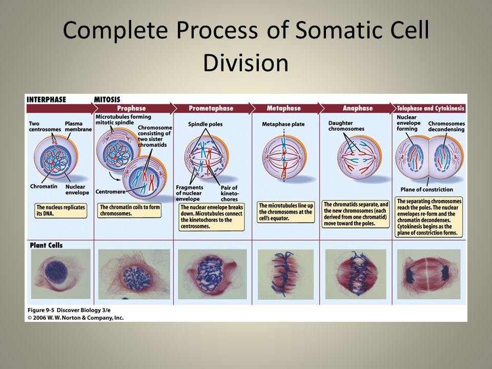 Complete Process of Somatic Cell Division