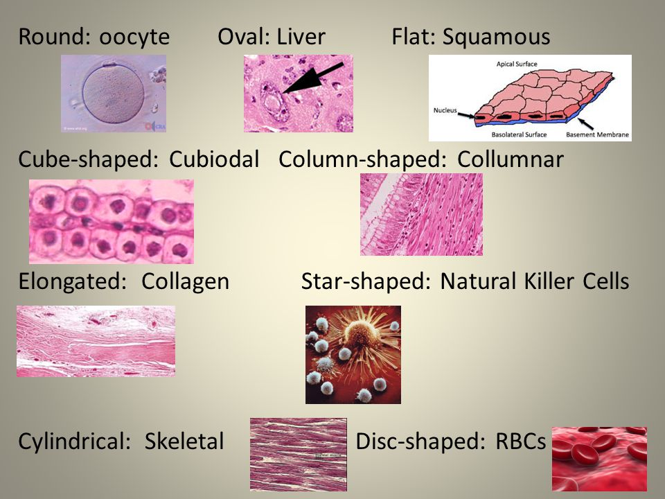 Round: oocyte Oval: Liver Flat: Squamous Cube-shaped: Cubiodal Column-shaped: Collumnar Elongated: Collagen Star-shaped: Natural Killer Cells Cylindrical: Skeletal Disc-shaped: RBCs