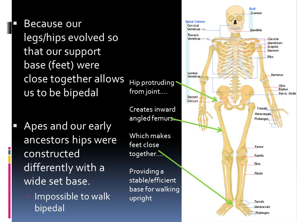 Because our legs/hips evolved so that our support base (feet) were close together allows us to be bipedal