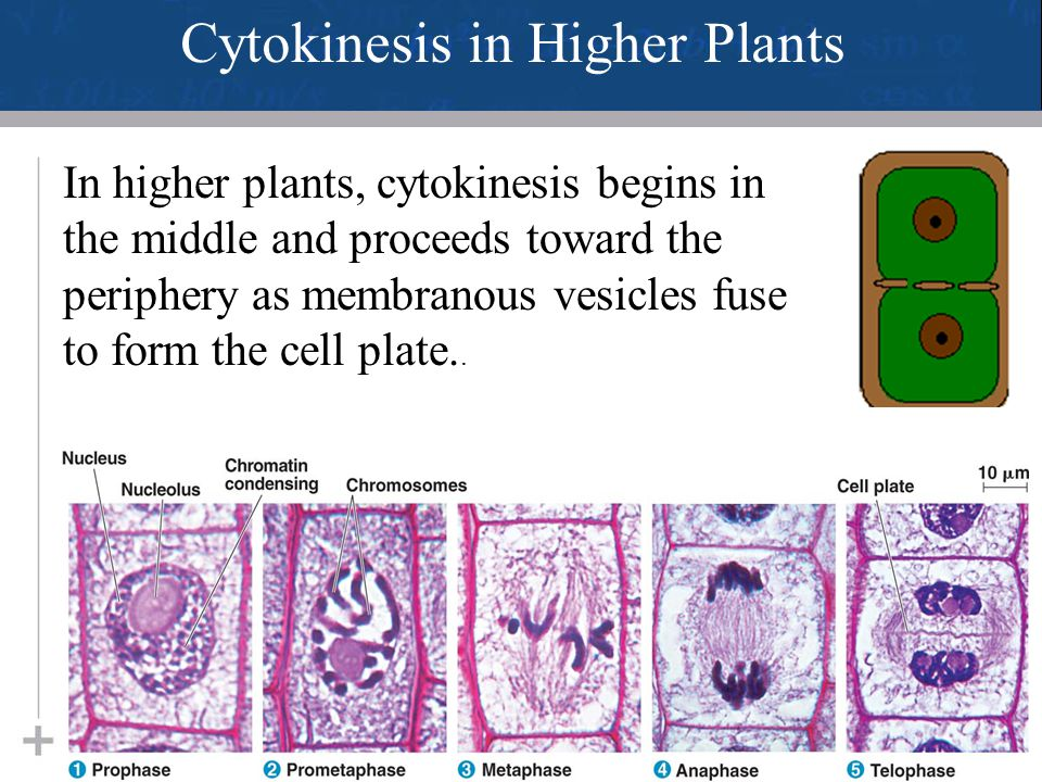 Cytokinesis in Higher Plants
