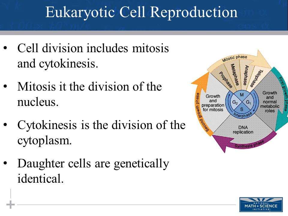 Eukaryotic Cell Reproduction