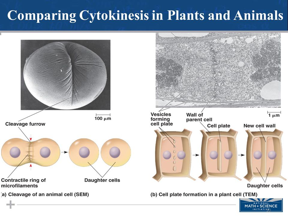 Comparing Cytokinesis in Plants and Animals