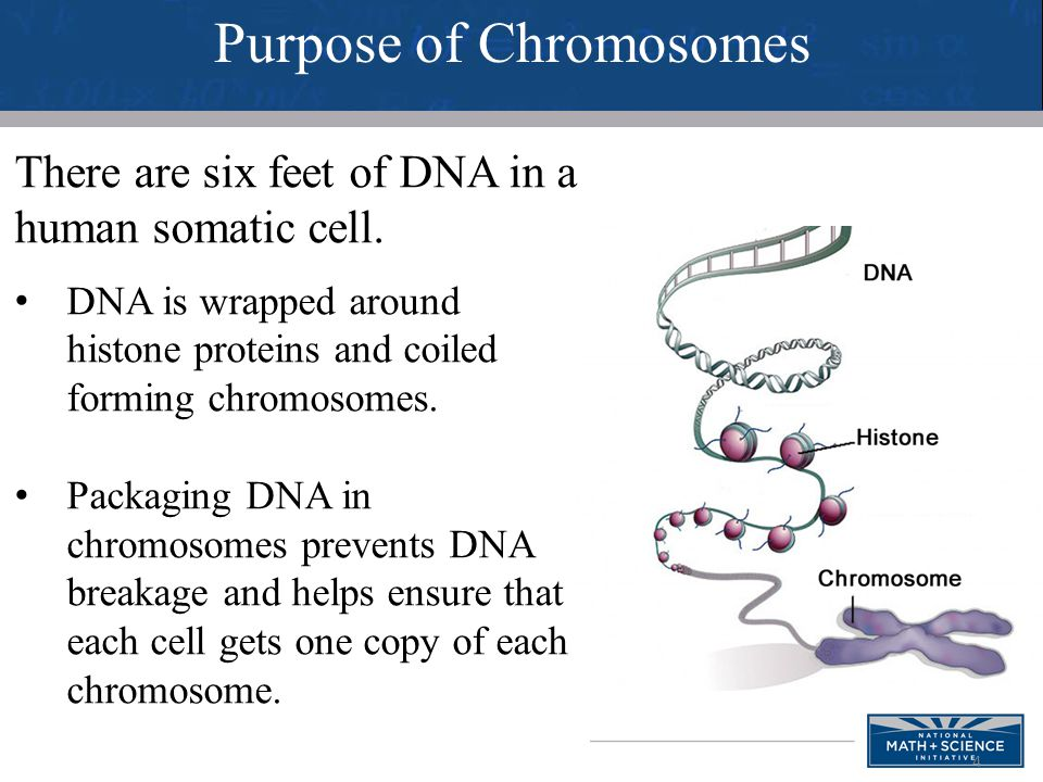 Purpose of Chromosomes
