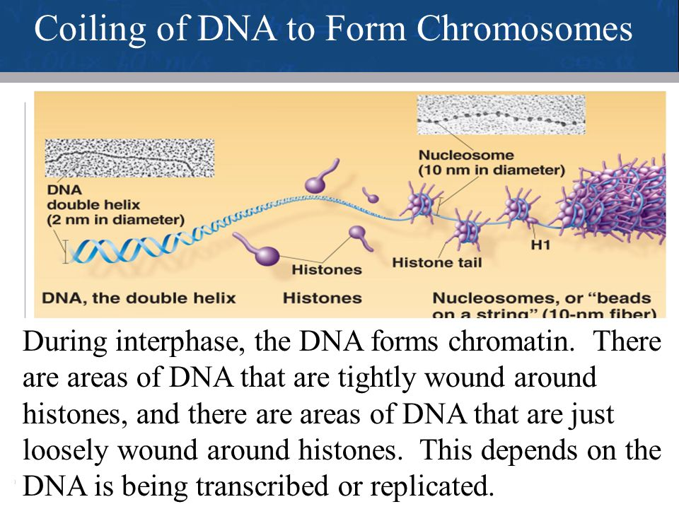 Coiling of DNA to Form Chromosomes