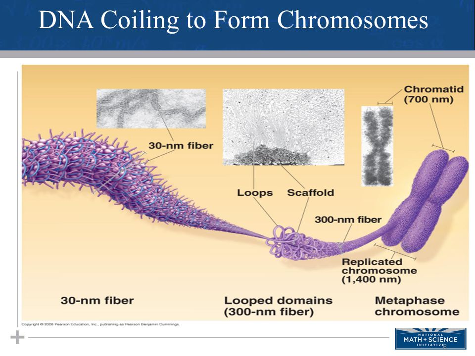 DNA Coiling to Form Chromosomes
