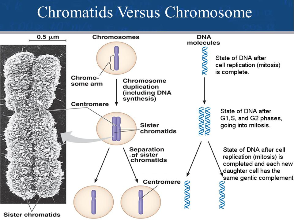 Chromatids Versus Chromosome