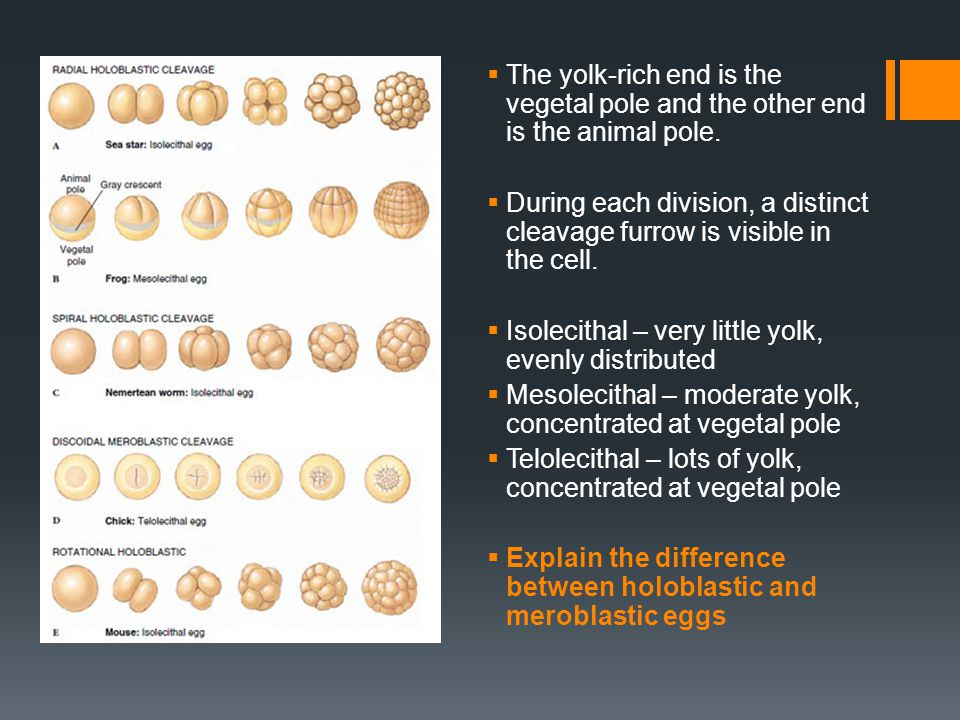 The yolk-rich end is the vegetal pole and the other end is the animal pole.