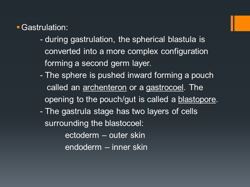 Gastrulation: - during gastrulation, the spherical blastula is. converted into a more complex configuration.