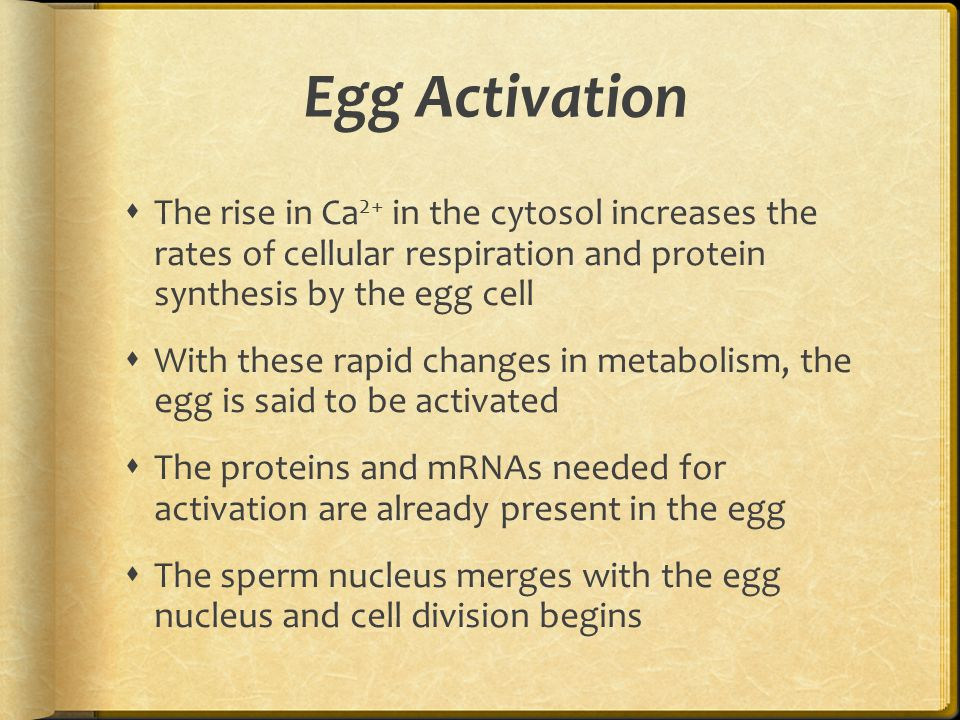 Egg Activation The rise in Ca2+ in the cytosol increases the rates of cellular respiration and protein synthesis by the egg cell.