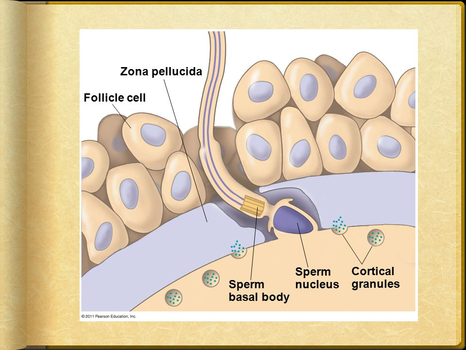 Zona pellucida Follicle cell Sperm nucleus Cortical granules