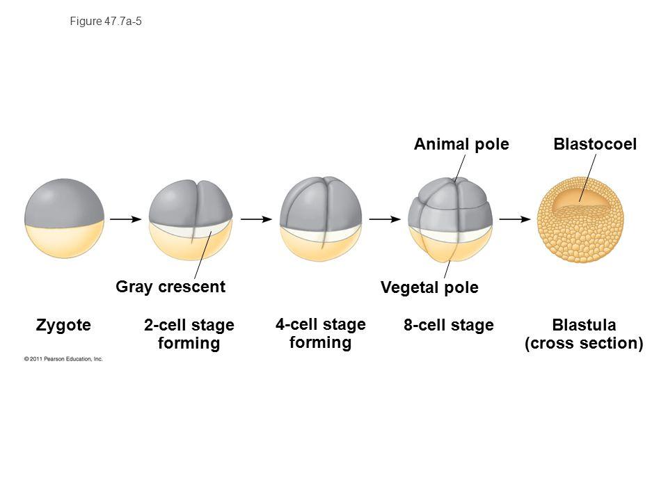 Blastula (cross section)