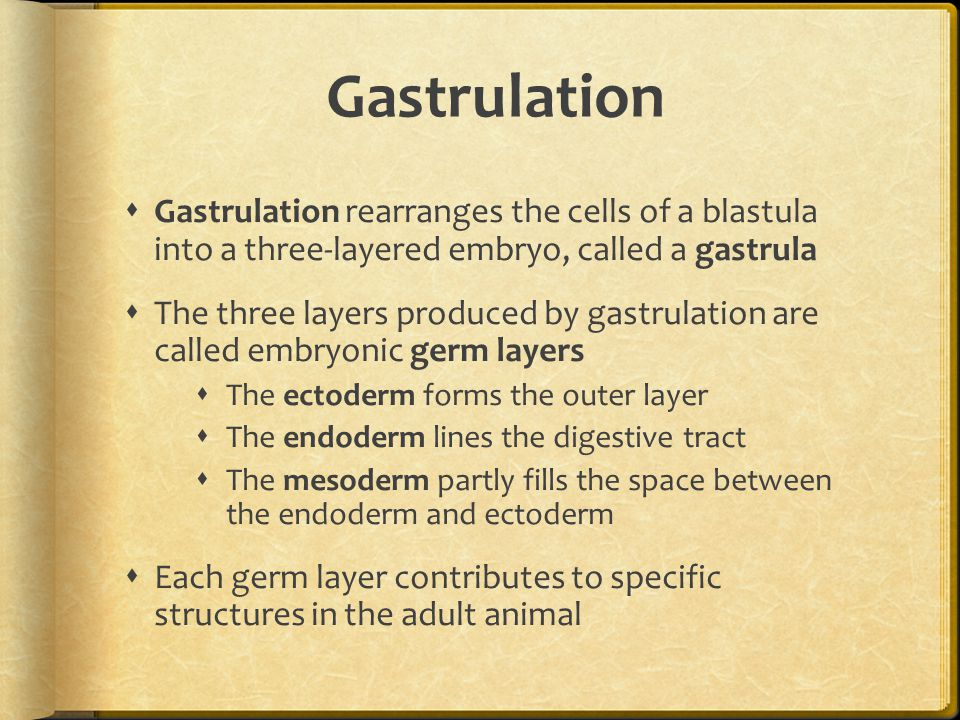 Gastrulation Gastrulation rearranges the cells of a blastula into a three-layered embryo, called a gastrula.