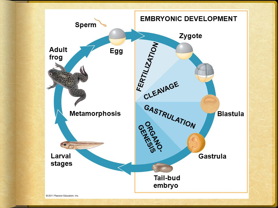 EMBRYONIC DEVELOPMENT Sperm