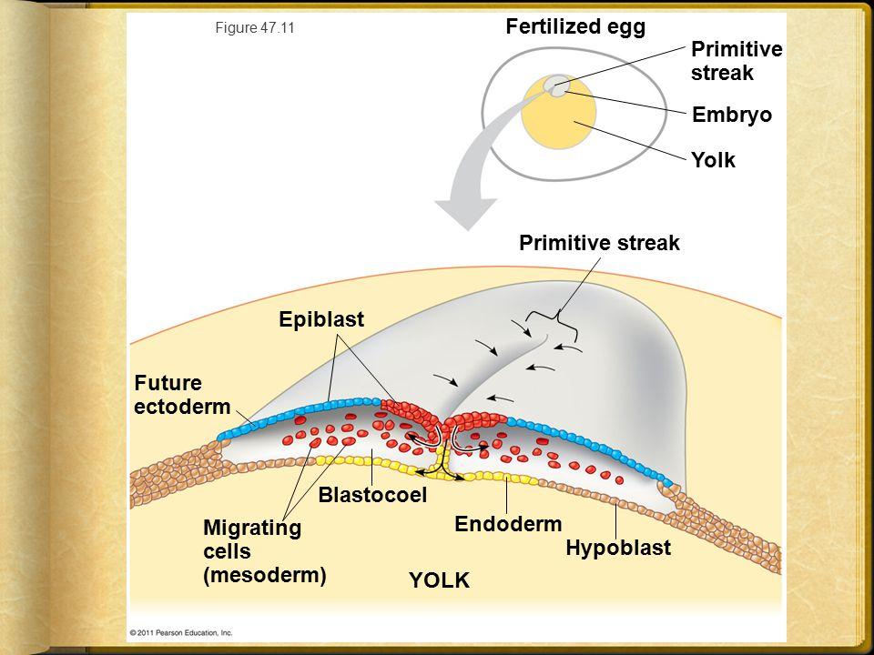 Migrating cells (mesoderm) Endoderm Hypoblast