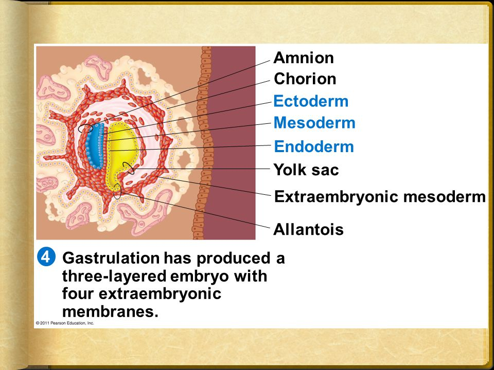 Extraembryonic mesoderm