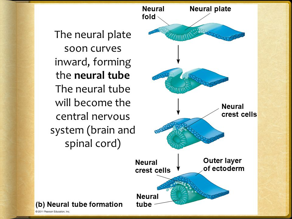 The neural plate soon curves inward, forming the neural tube