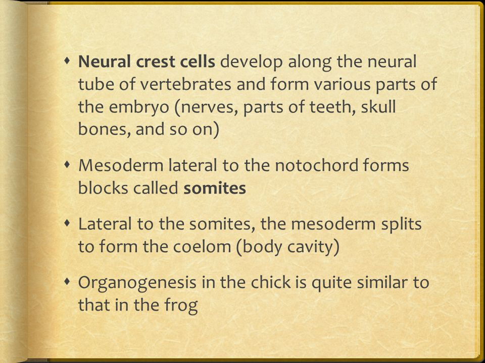 Neural crest cells develop along the neural tube of vertebrates and form various parts of the embryo (nerves, parts of teeth, skull bones, and so on)