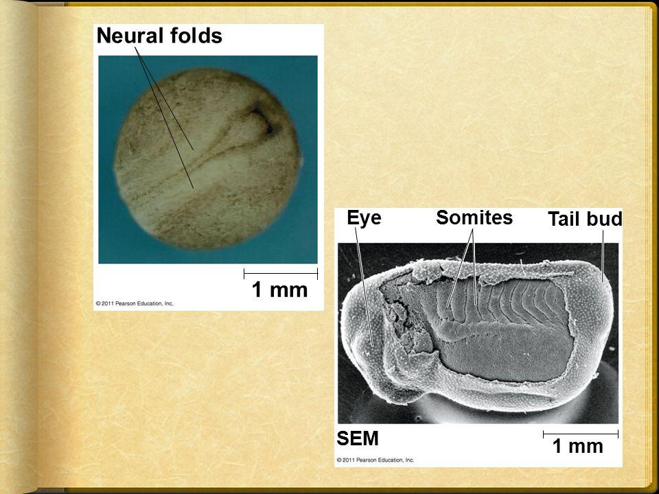 Neural folds 1 mm Eye Somites Tail bud SEM 1 mm