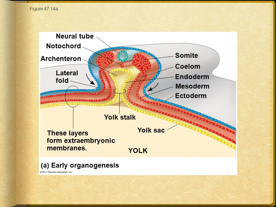 These layers form extraembryonic membranes.