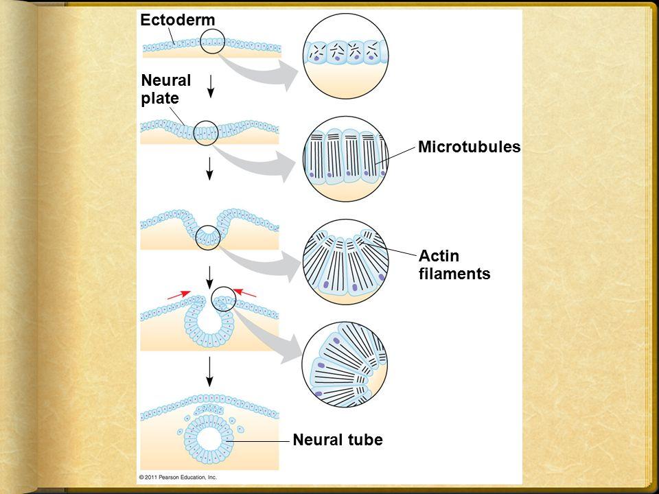 Ectoderm Neural plate Microtubules Actin filaments Neural tube
