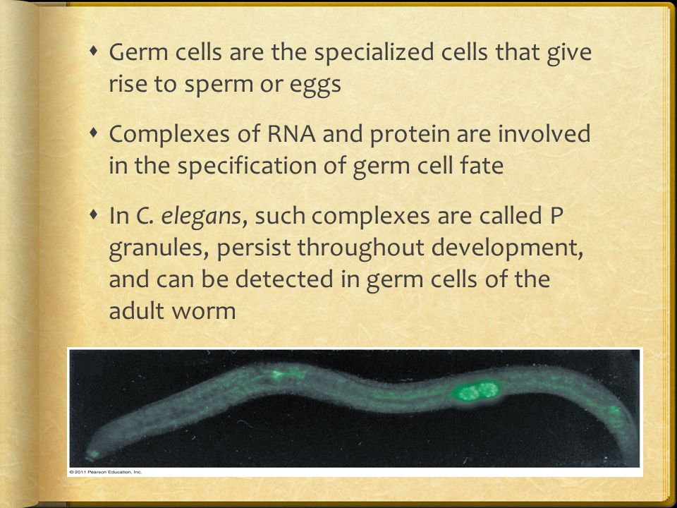 Germ cells are the specialized cells that give rise to sperm or eggs