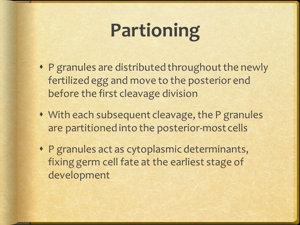 Partioning P granules are distributed throughout the newly fertilized egg and move to the posterior end before the first cleavage division.