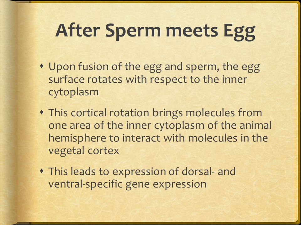 After Sperm meets Egg Upon fusion of the egg and sperm, the egg surface rotates with respect to the inner cytoplasm.