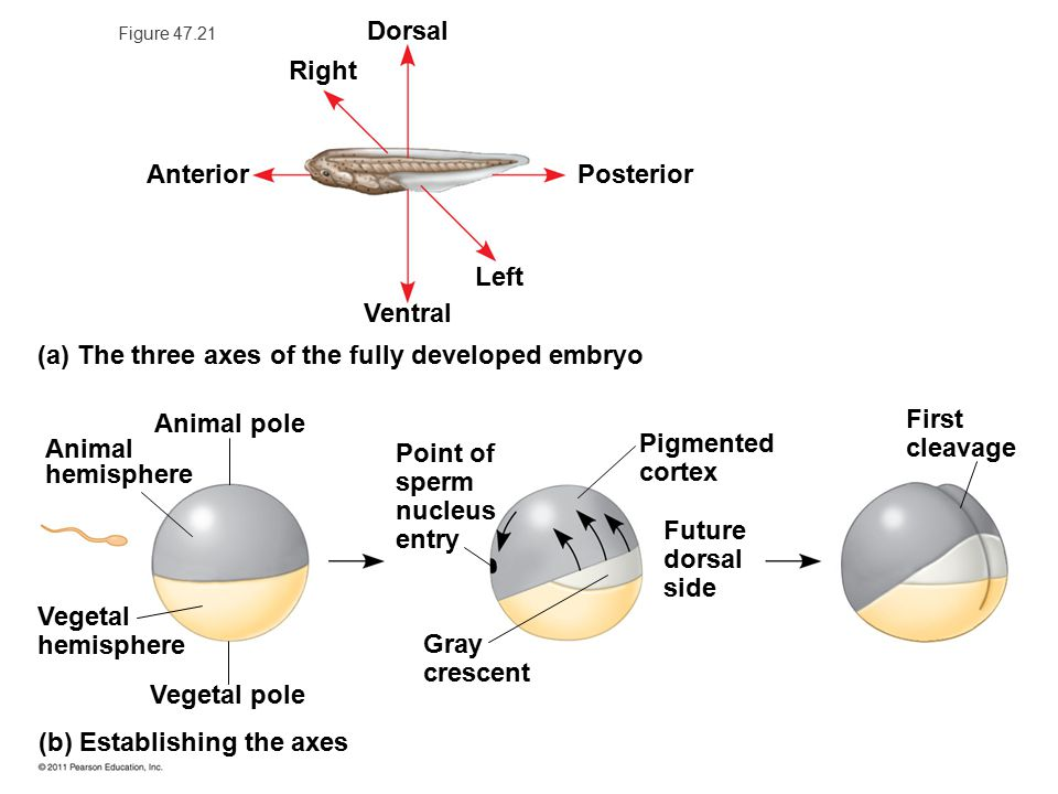(a) The three axes of the fully developed embryo