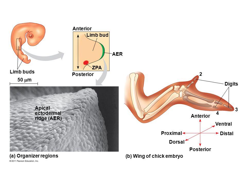 Apical ectodermal ridge (AER) 3 4 Anterior