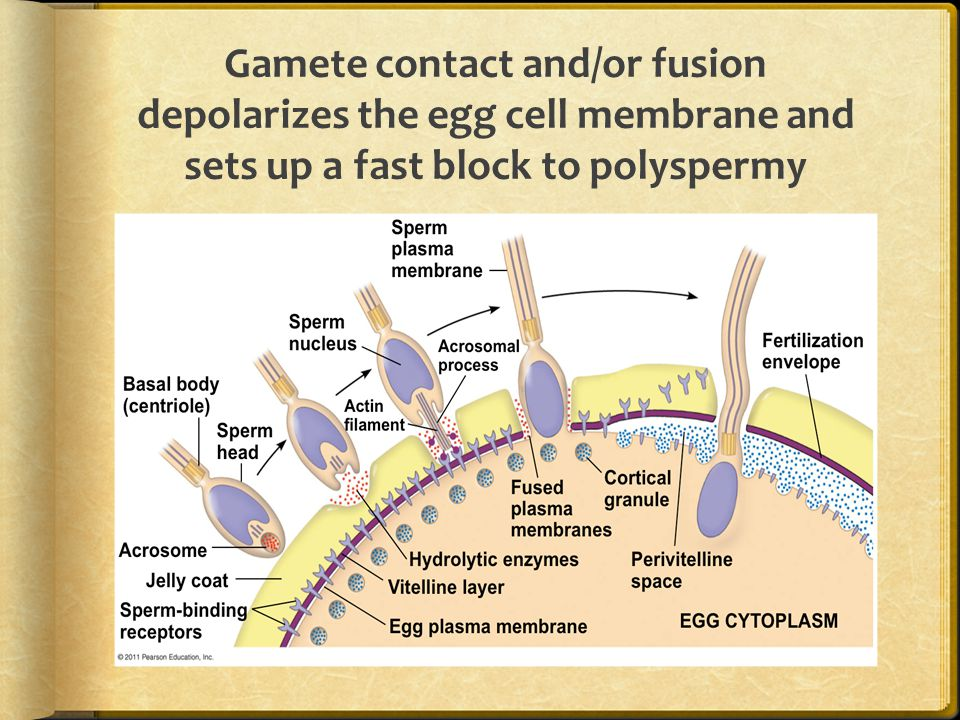 Gamete contact and/or fusion depolarizes the egg cell membrane and sets up a fast block to polyspermy