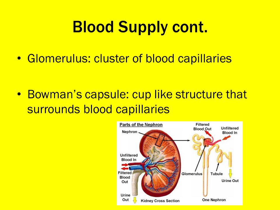 Blood Supply cont. Glomerulus: cluster of blood capillaries