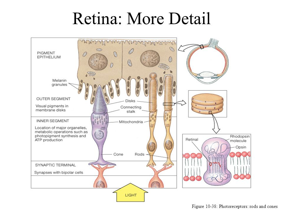 Retina: More Detail Figure 10-38: Photoreceptors: rods and cones